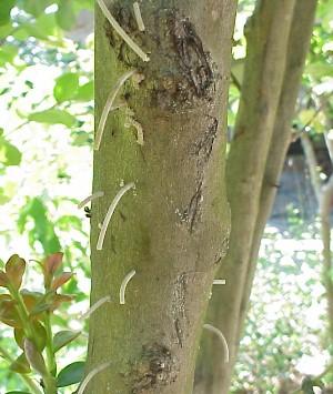 Asian ambrosia beetles