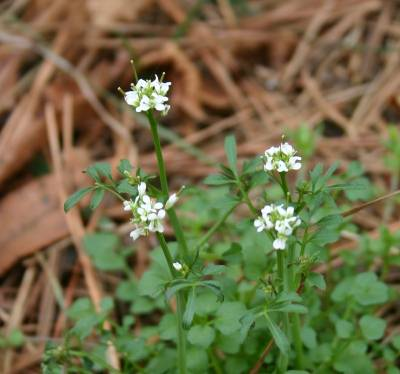 Bittercress Identification Walter Reeves The