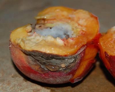Peach plum brown rot walter reeves the georgia gardener