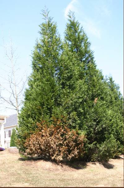 Related Keywords & Suggestions for leyland cypress care