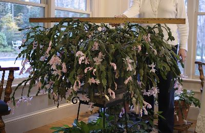 How To Prune A Christmas Cactus.Christmas Cactus Huge Walter Reeves The Georgia Gardener