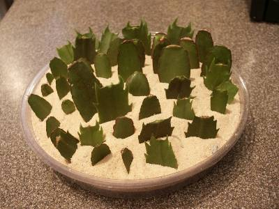 christmas cactus huge size - How To Take Care Of Christmas Cactus