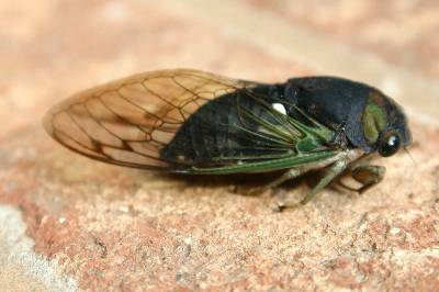 Cicada And Katydid Identification By Sound Walter Reeves The