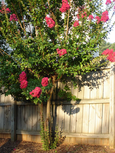how to cut back a crape myrtle tree