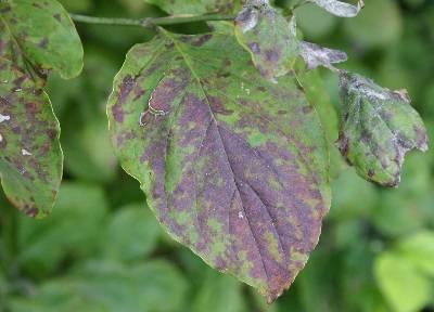 Dogwood – Septoria Leaf Spot | Walter Reeves: The Georgia