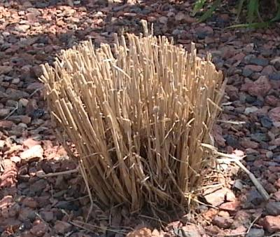 Freeze Damage Fountain Grass 171 Walter Reeves The