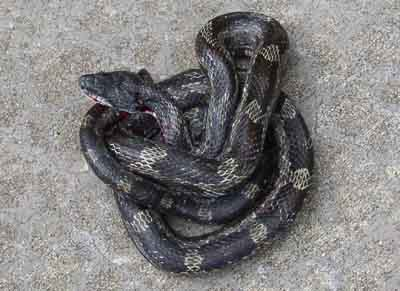 Snake – Gray Rat Snake Identification | Walter Reeves: The ...