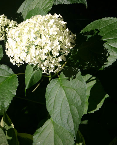 Hydrangea Identification And Pruning Walter Reeves