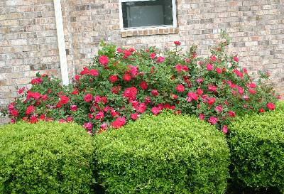 Knock OutR Rose Pruning In Winter