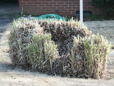 Ornamental Grasses Pruning Ornamental grass cutting back walter reeves the georgia gardener this pampas grass wasnt pruned last year and then was pruned too high this year leaving a hollow center workwithnaturefo