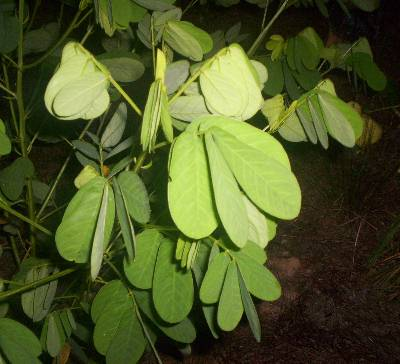 Sicklepod Coffeebean Coffeeweed Identification