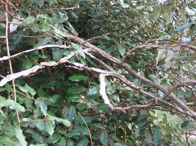 Lovely Sweetgum – Wings on Twigs | Walter Reeves: The Georgia Gardener CN48