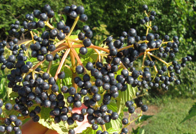 Viburnum Identified As Blueberry Walter Reeves The