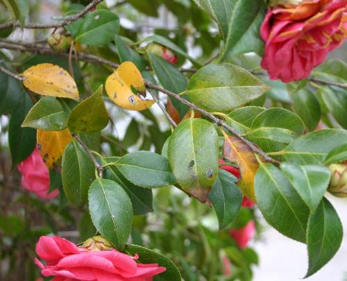 Gardenia Holly Magnolia Azalea Camellia Yellow Leaves In Spring Walter Reeves The Georgia Gardener