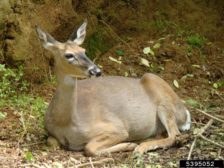 white-tailed deer (image courtesy of  Rebekah D. Wallace, University of Georgia, Bugwood.org)
