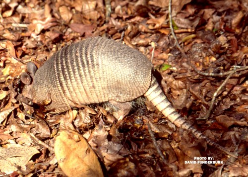 armadillo (photo courtesy of David Funderburk)