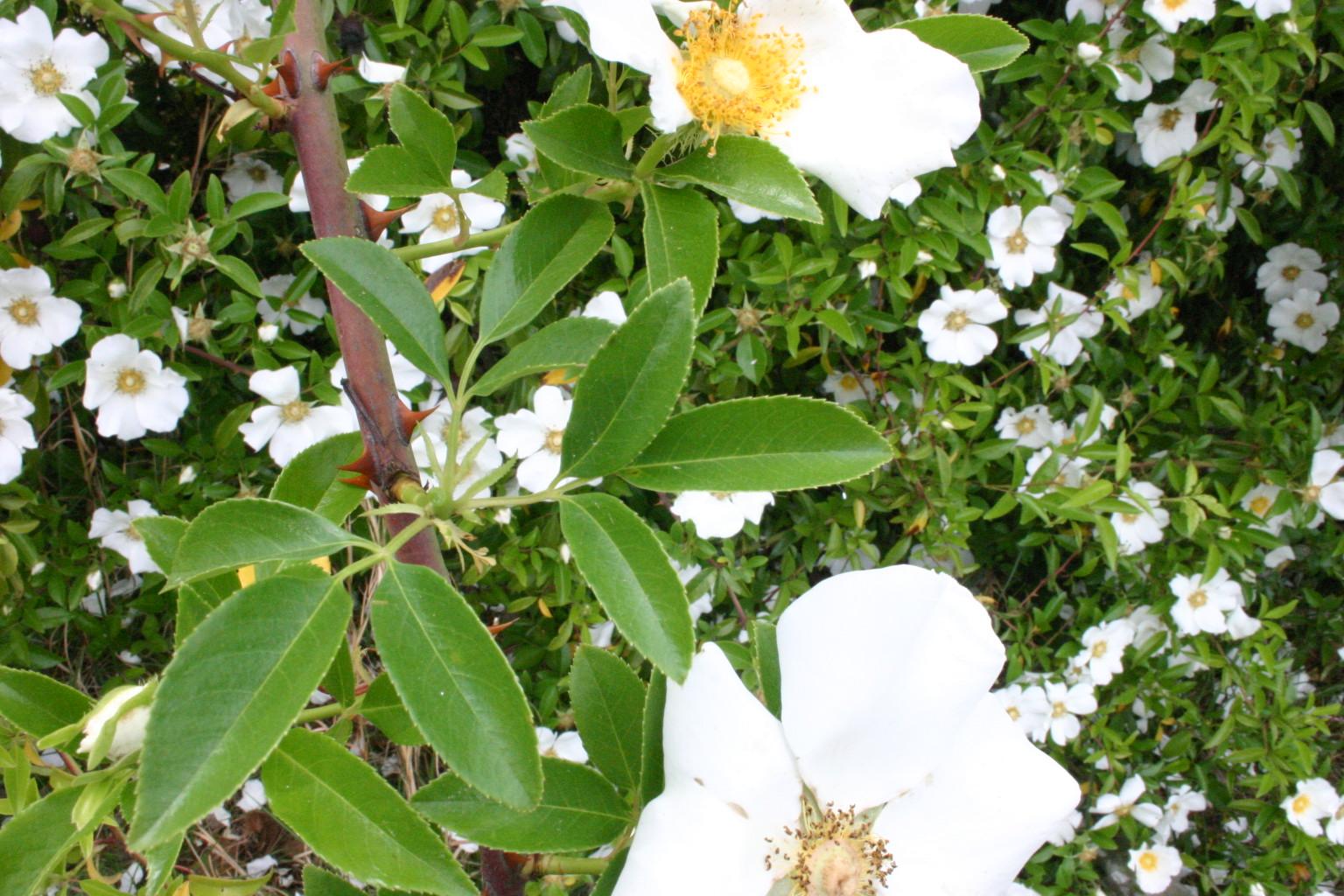 Rose pruning climbing types walter reeves the georgia for Cherokee rose