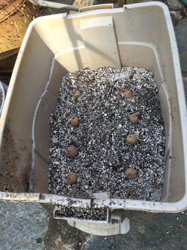 Potatoes ready to be  lightly covered. I mixed a bit of potting soil into the perlite to make it hold water a little longer.