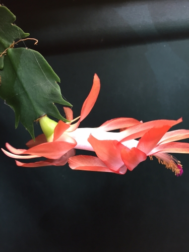 thanksgiving-cactus-red