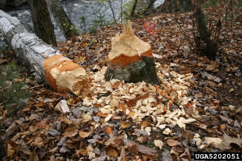 beaver damage (photo courtesy of Steven Katovich - USDA)