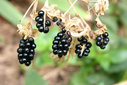 Blackberry Lily Seeds When To Plant Walter Reeves The