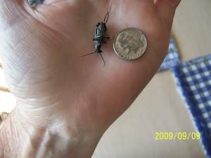 Agapanthus blister beetle