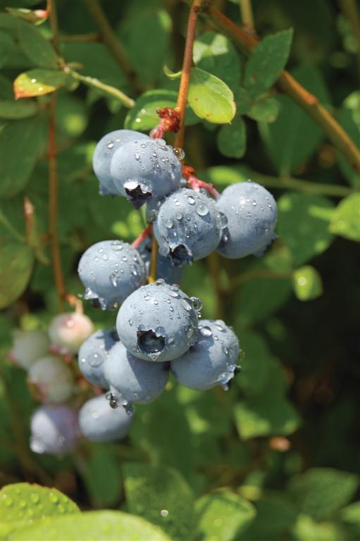 Blueberry Pruning Walter Reeves The Georgia Gardener