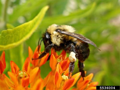bumblebee - Ansel Oommen, Bugwood.org