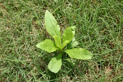 burnweed (2)