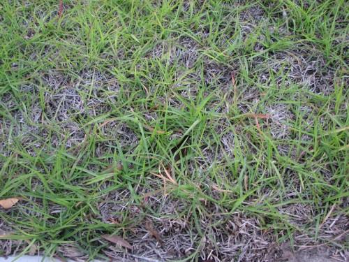 Image Result For Fertilizing Centipede Gr