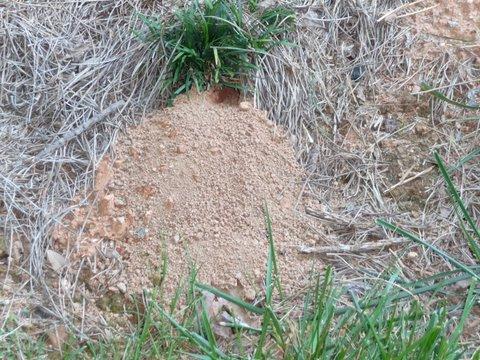 cicada killer hole