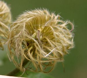 """native """"virgin's bower"""" clematis seed"""