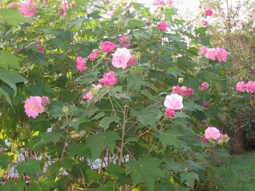 confederate rose 2