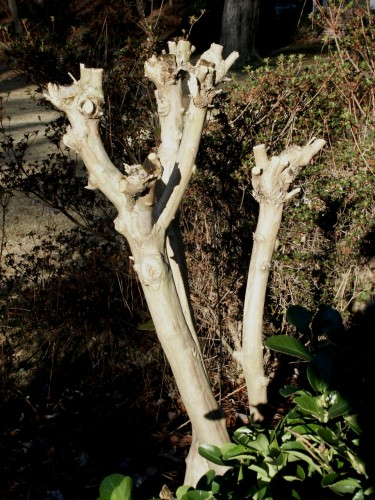 crapemyrtle poorly pruned