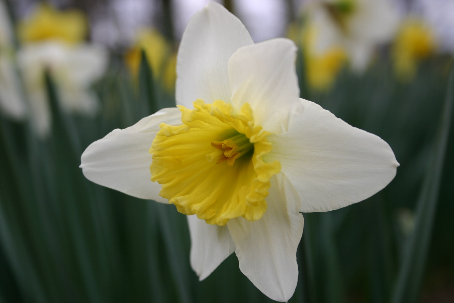 http://www.walterreeves.com/wp-content/uploads/2010/07/daffodil-4.jpg