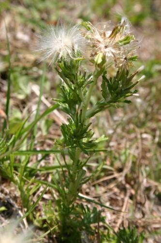 trampweed (Facelis retusa)