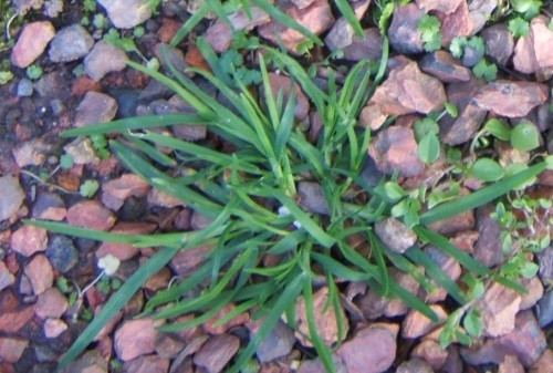 goosegrass 1