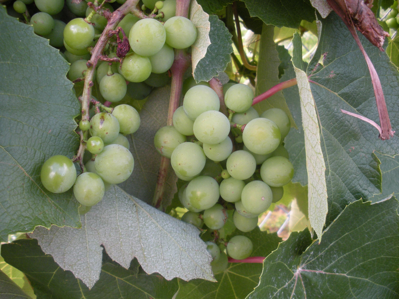 Grape Vines Pruning Concord Walter Reeves The Georgia Gardener