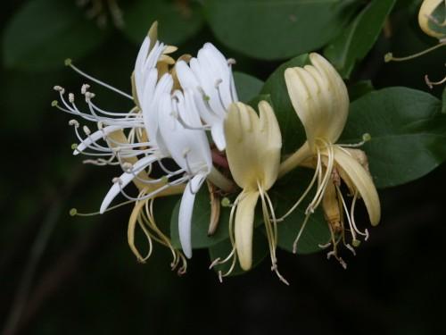 honeysuckle flower 1