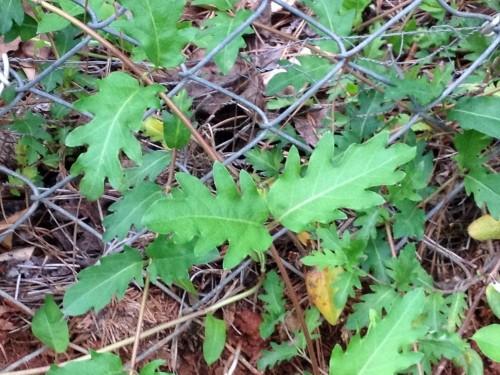 juvenile honeysuckle leaves