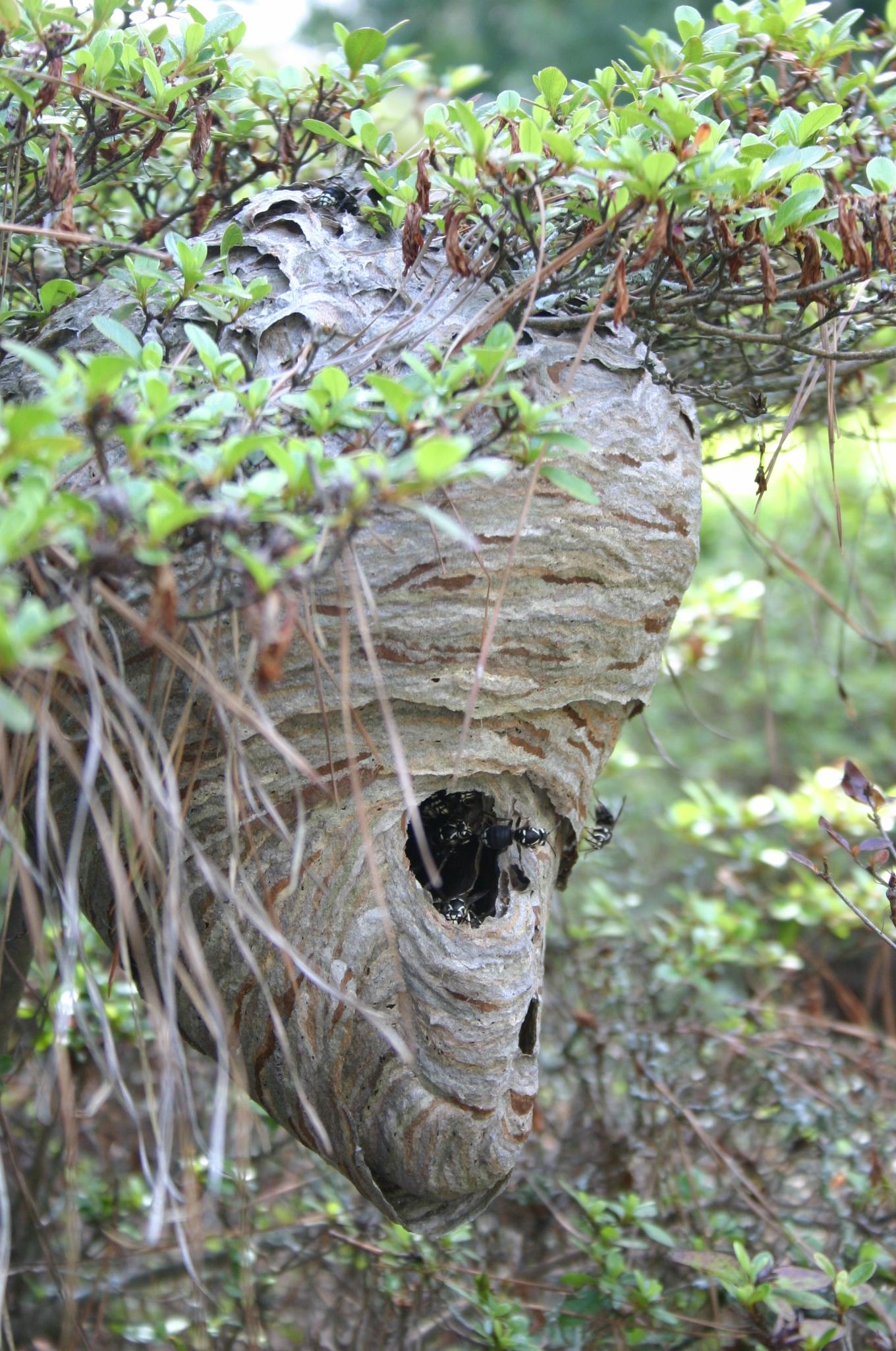 Hornet  U2013 Preserving The Nest