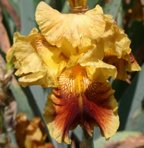 iris yellow 4
