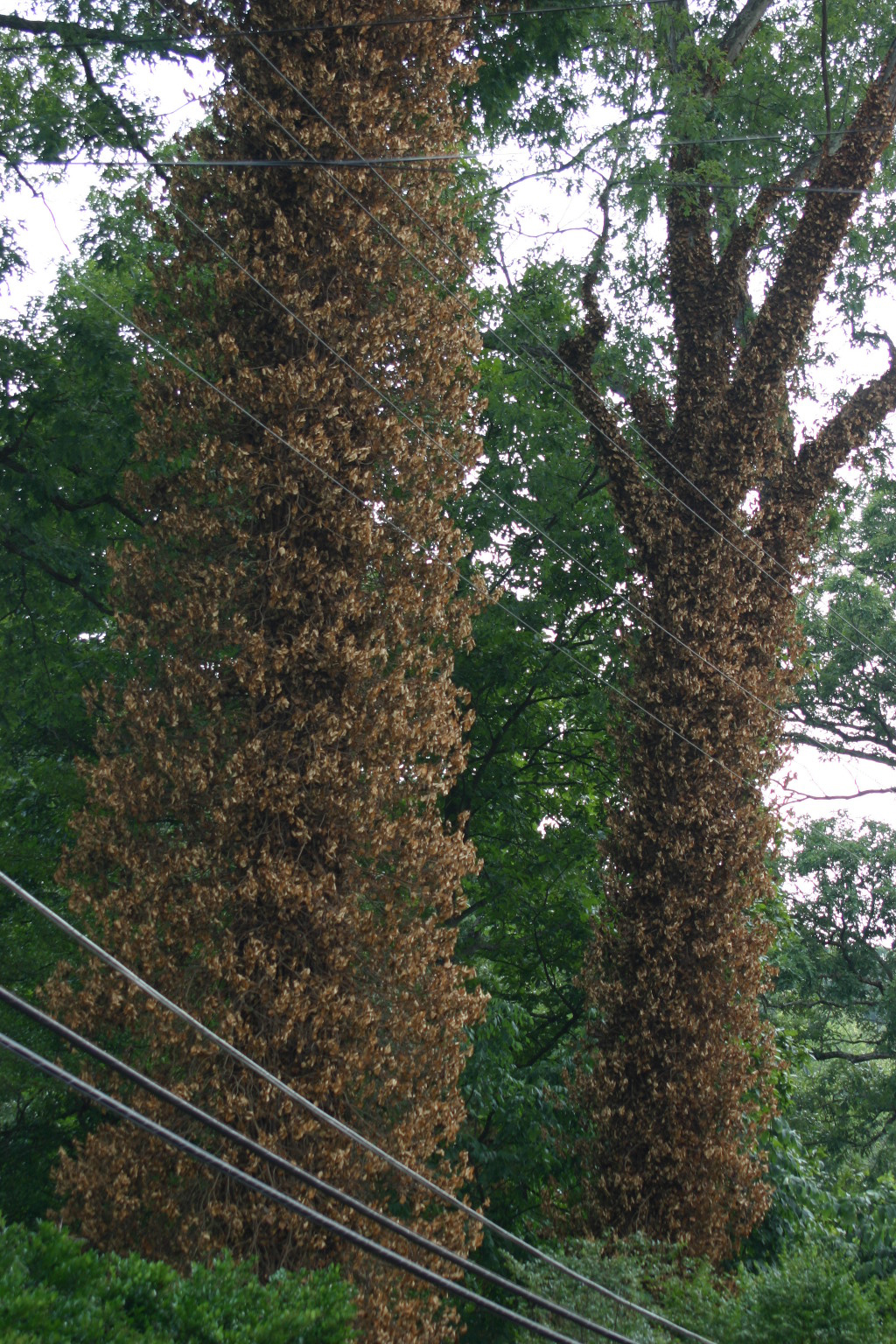 English Ivy Control Walter Reeves