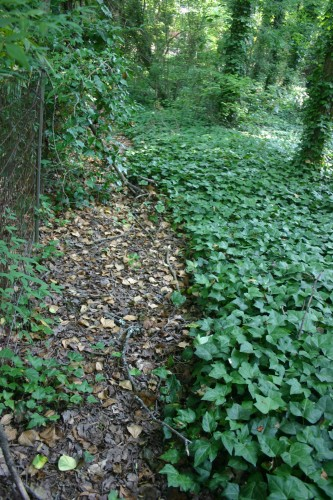 English ivy controlled with glyphosate