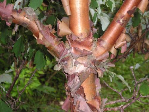 paperbark maple exfoliation
