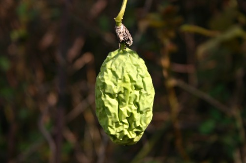 maypop fruit - dead ripe