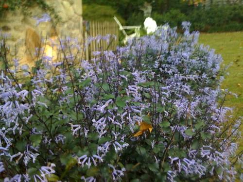 plectranthus Mona Lavender x