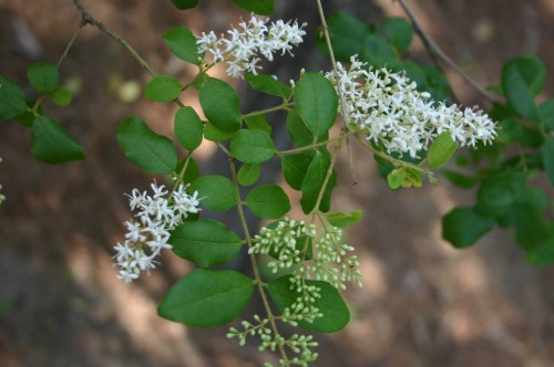 privet flowers