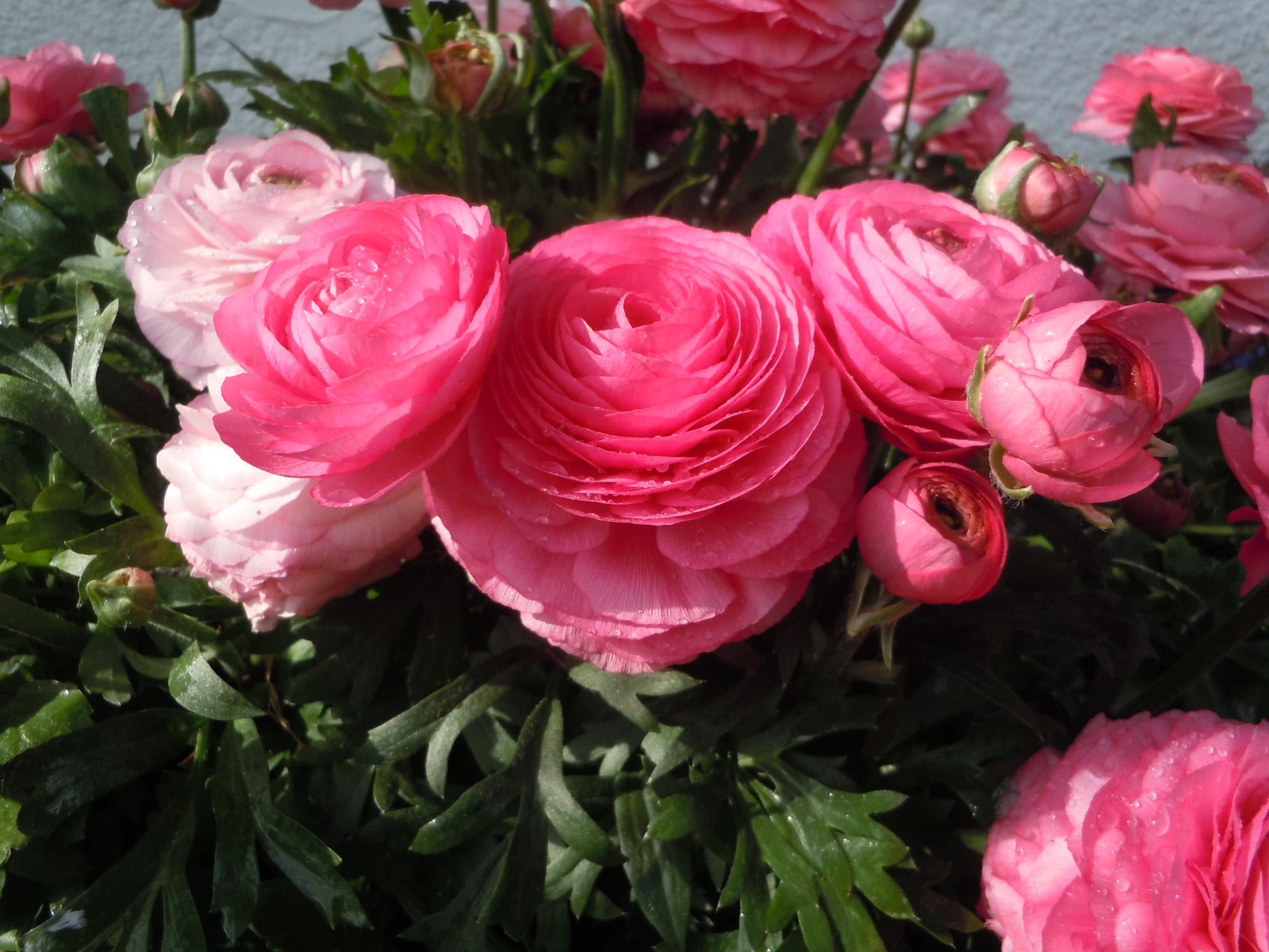 Ranunculus – Planting