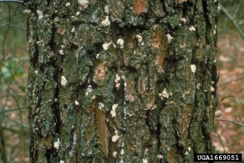 southern pine beetle Bugwood.org
